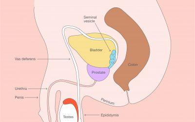 The Male Anatomy